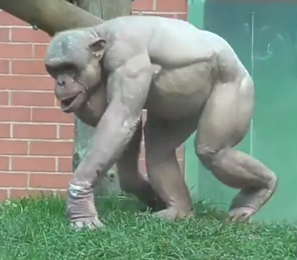 Break-Video-Even-Chimps-Suffer-Male-Pattern-Baldness.png?w=980&q=75